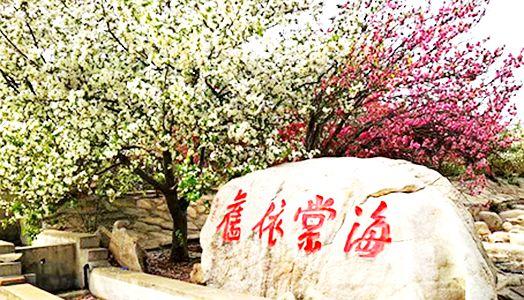【平阴海棠节】触手可及的国色天香